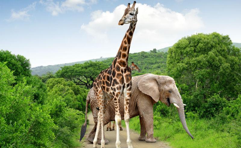 afrika elefant giraff