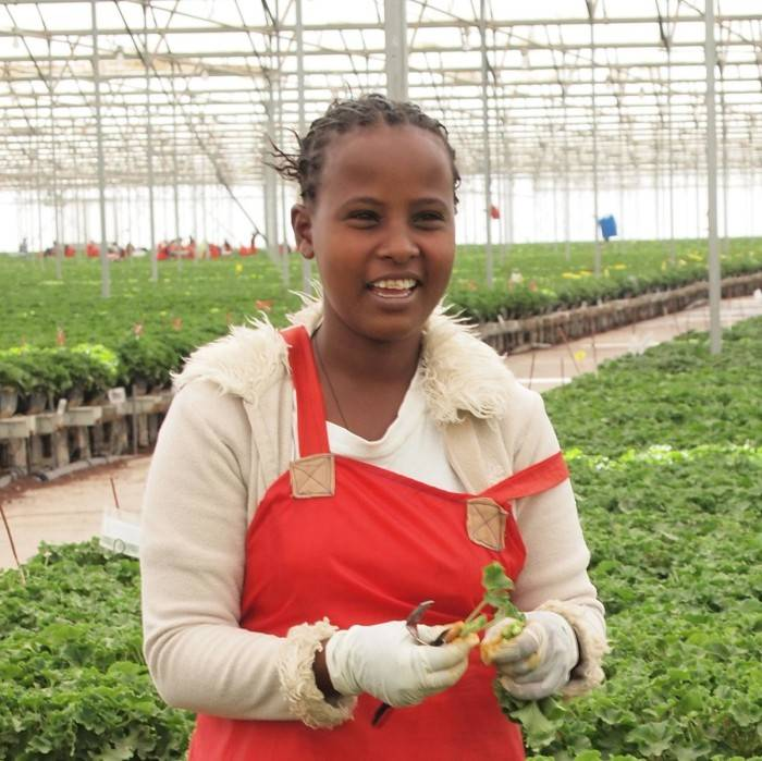 Fair Trade-pelargoner från plantager i Etiopien.