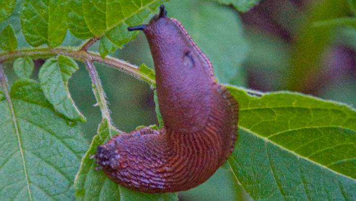 En mördarsnigel äter ett blad.