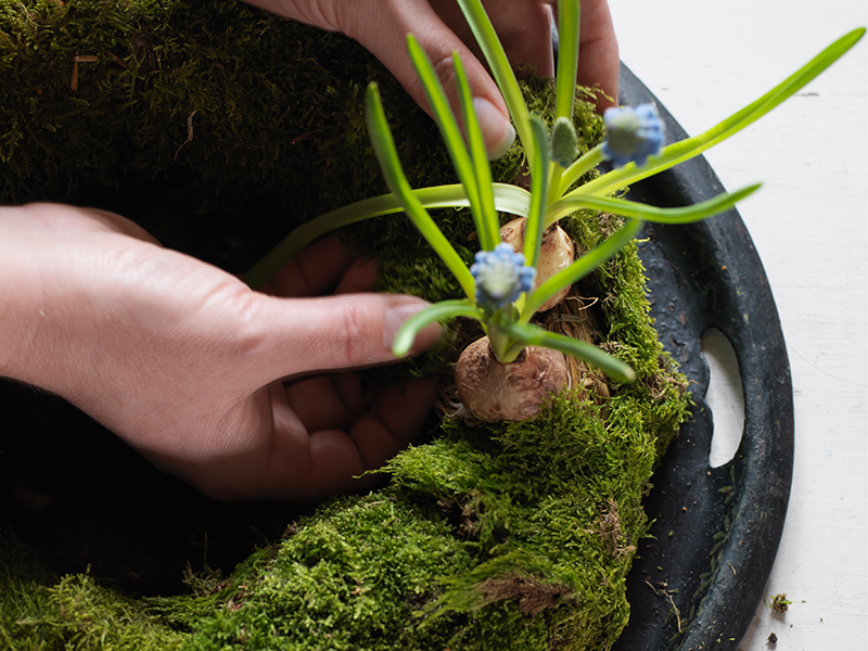 Skölj av jorden från blomsterlökarna och fäst dem i stommen genom att sticka igenom nålar genom lökens bas.