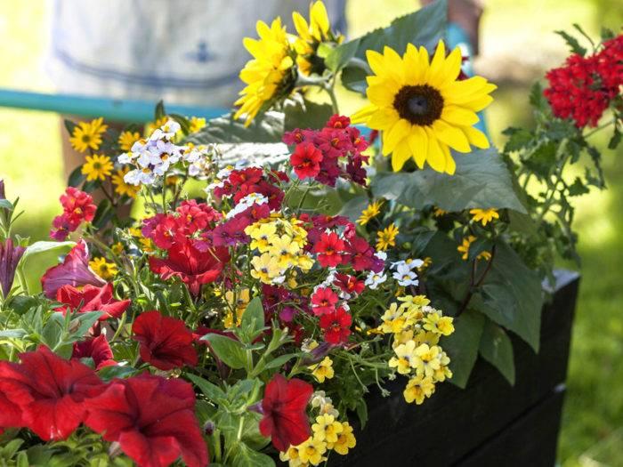 Verbena, solros, nemesia, petunia och husarknapp, solros och nemesian i en balkonglåda.