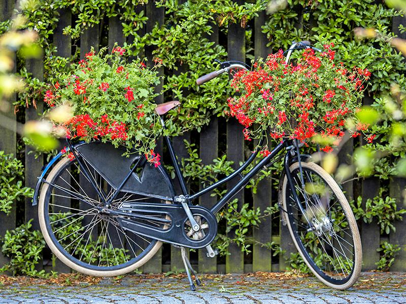Cykel med pelargoner