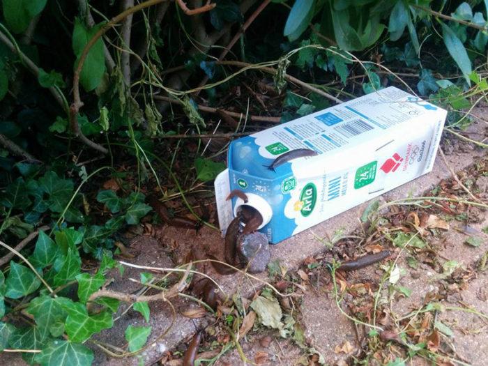 Mjölkkartongen blev en effektiv snigelfälla.