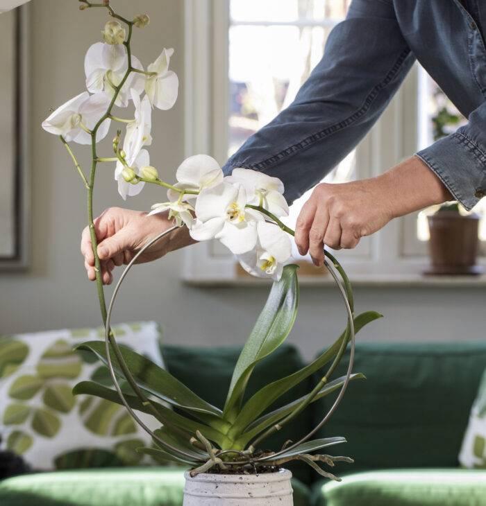 orkidebåge