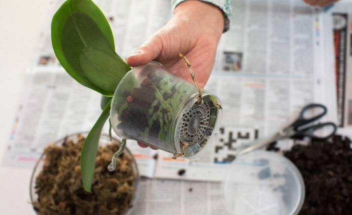 Så planterar du om orkideer