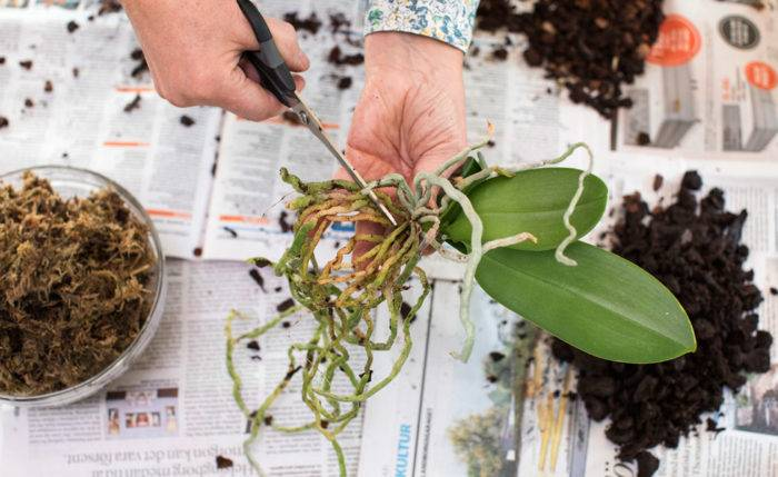 Så planterar du om orkidéer