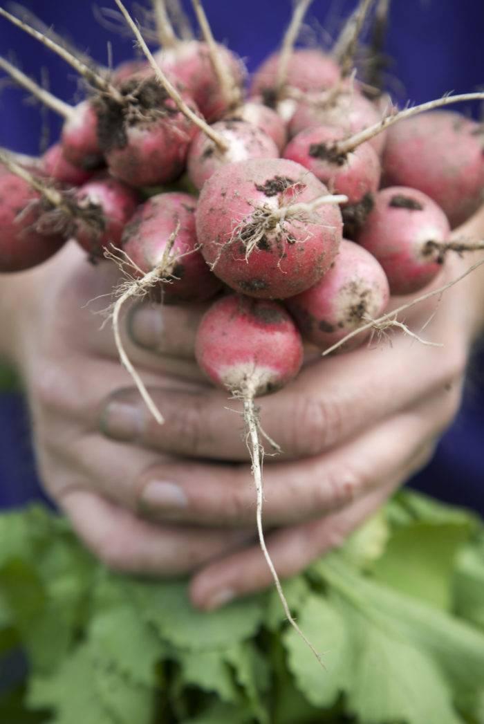 odla rädisor i grönsakslandet