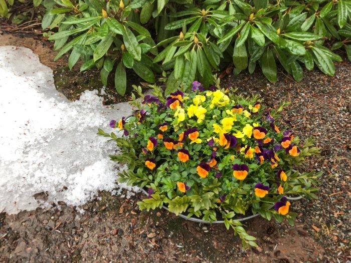 Penséer i kruka med snö på marken.