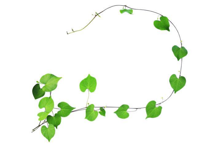 En murgröna med hjärtfortmade blad.