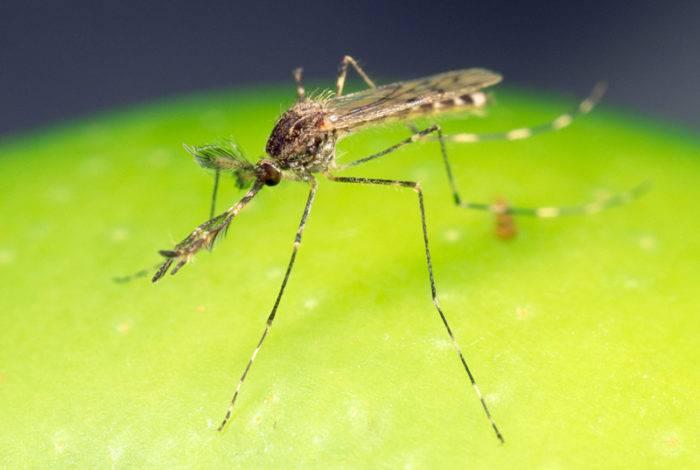 Myggor är både irritationsmoment och smittbärare