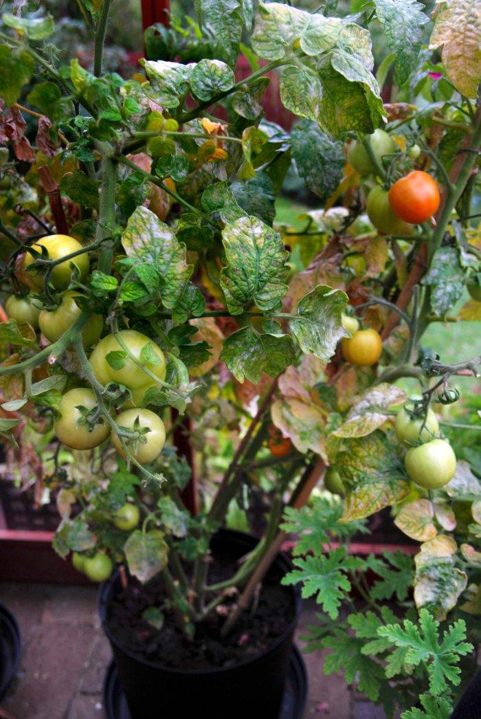 Gråmögel är vanlig på många växter, inte minst på tomater i växthus. Det kan behandlas med produkten Binab, baserat på nyttosvampar.