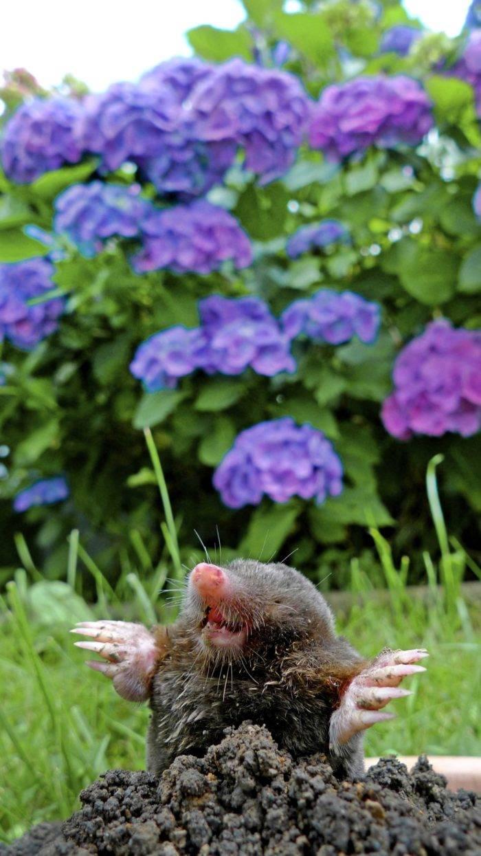 Mullvadar i trädgården
