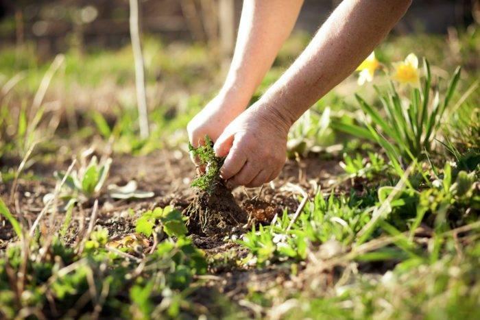 Börja rensa ogräs tidigt på våren så hinner det inte ta överhanden.