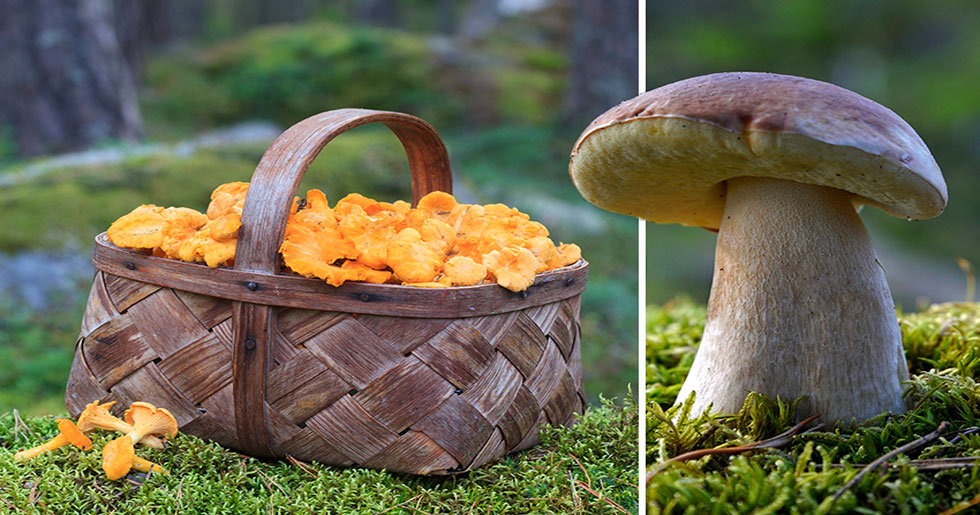 Trots torkan - än finns goda chanser för svamp | Allas.se