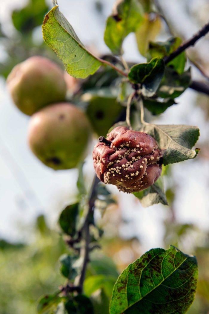Fruktmögel Monilia angriper äpplen.