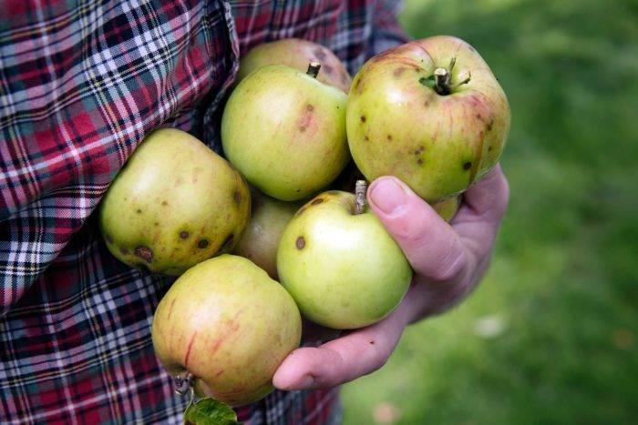 Skorvangripna äpplen går att äta.