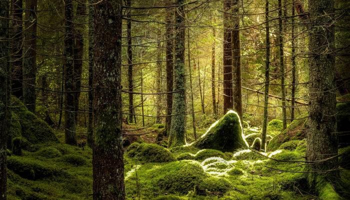 En mossig skog.