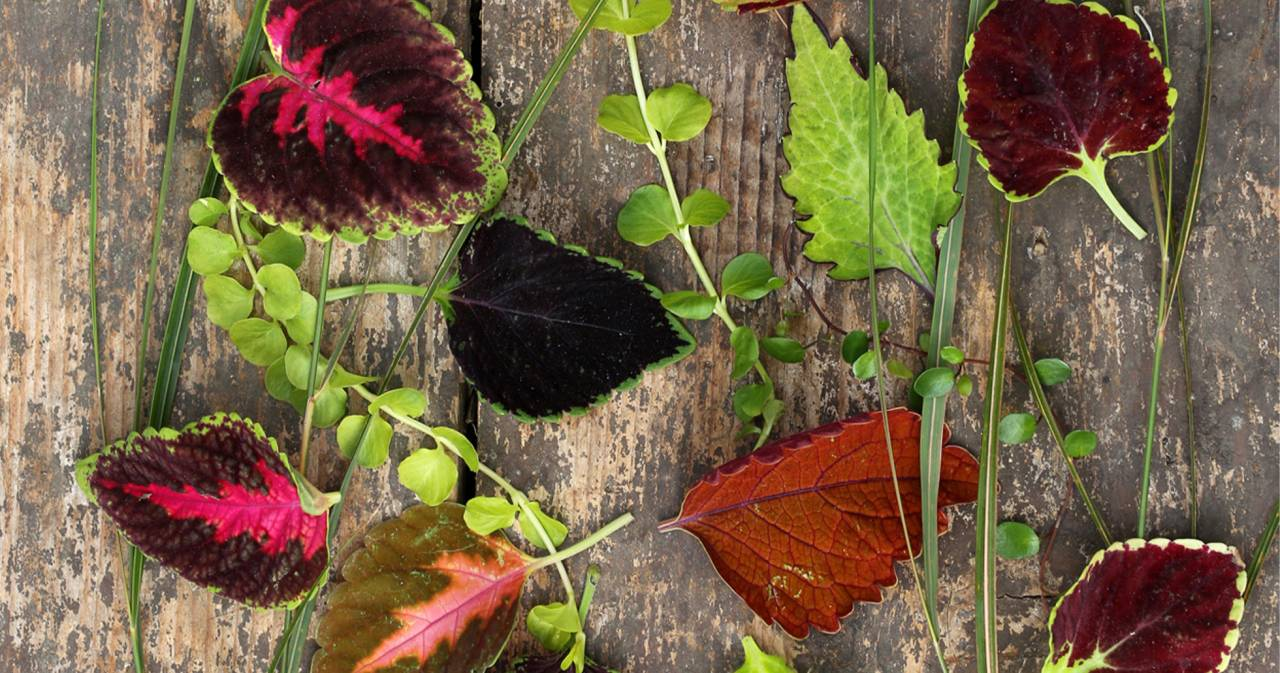Årets sommarblomma 2019, Palettblad, finns i många olika varianter.