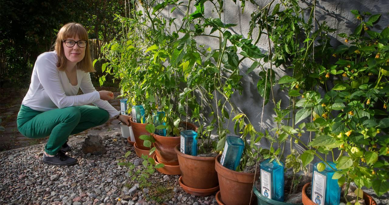 En ung kvinna sitter på huk framför krukor där hon odlar tomater.