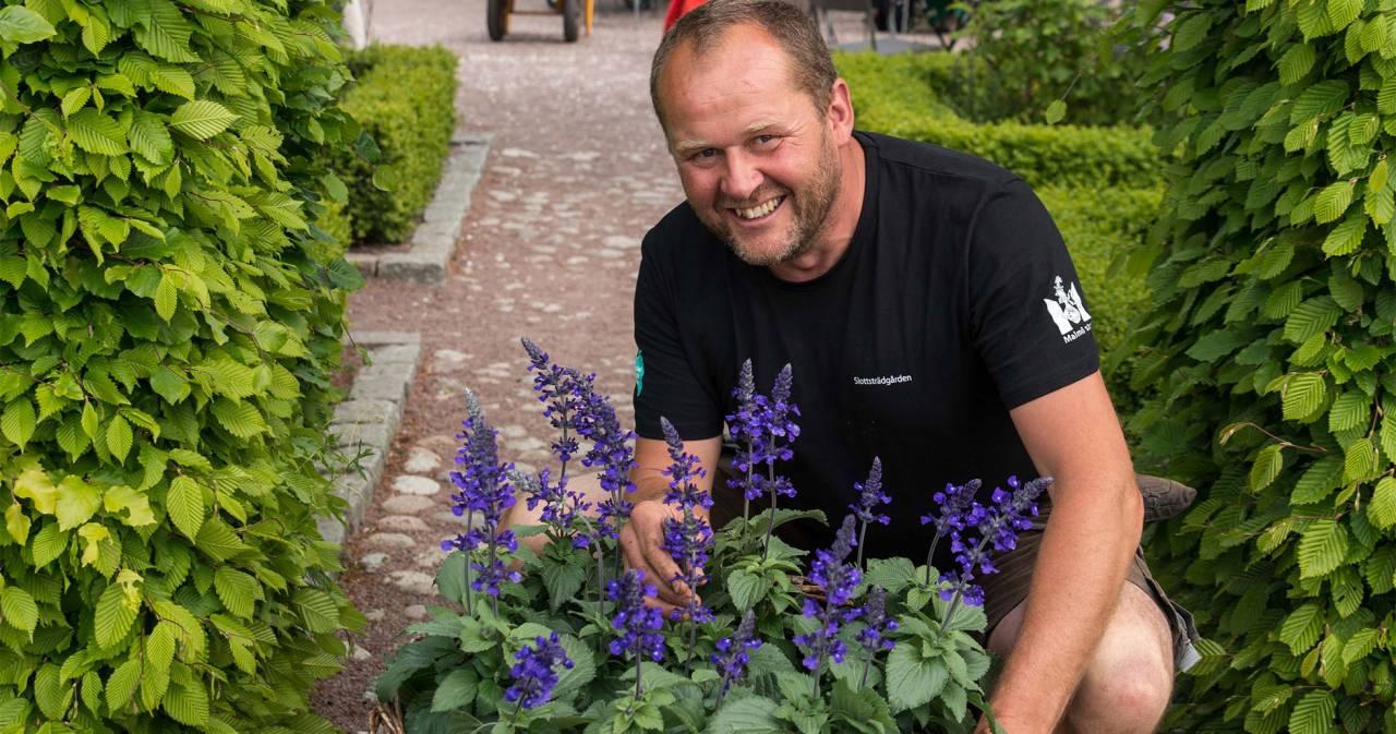 John Taylor med Årets sommarblomma 2016: Daggsalvia