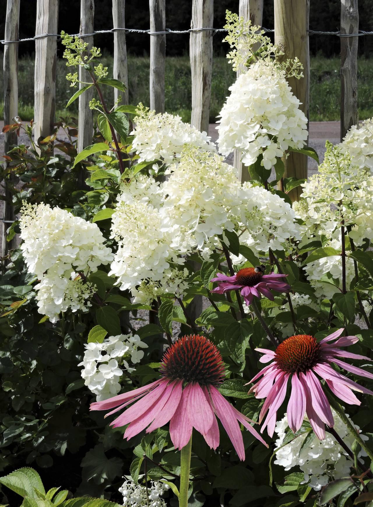 De enorma vita blommorna är vidjehortensian