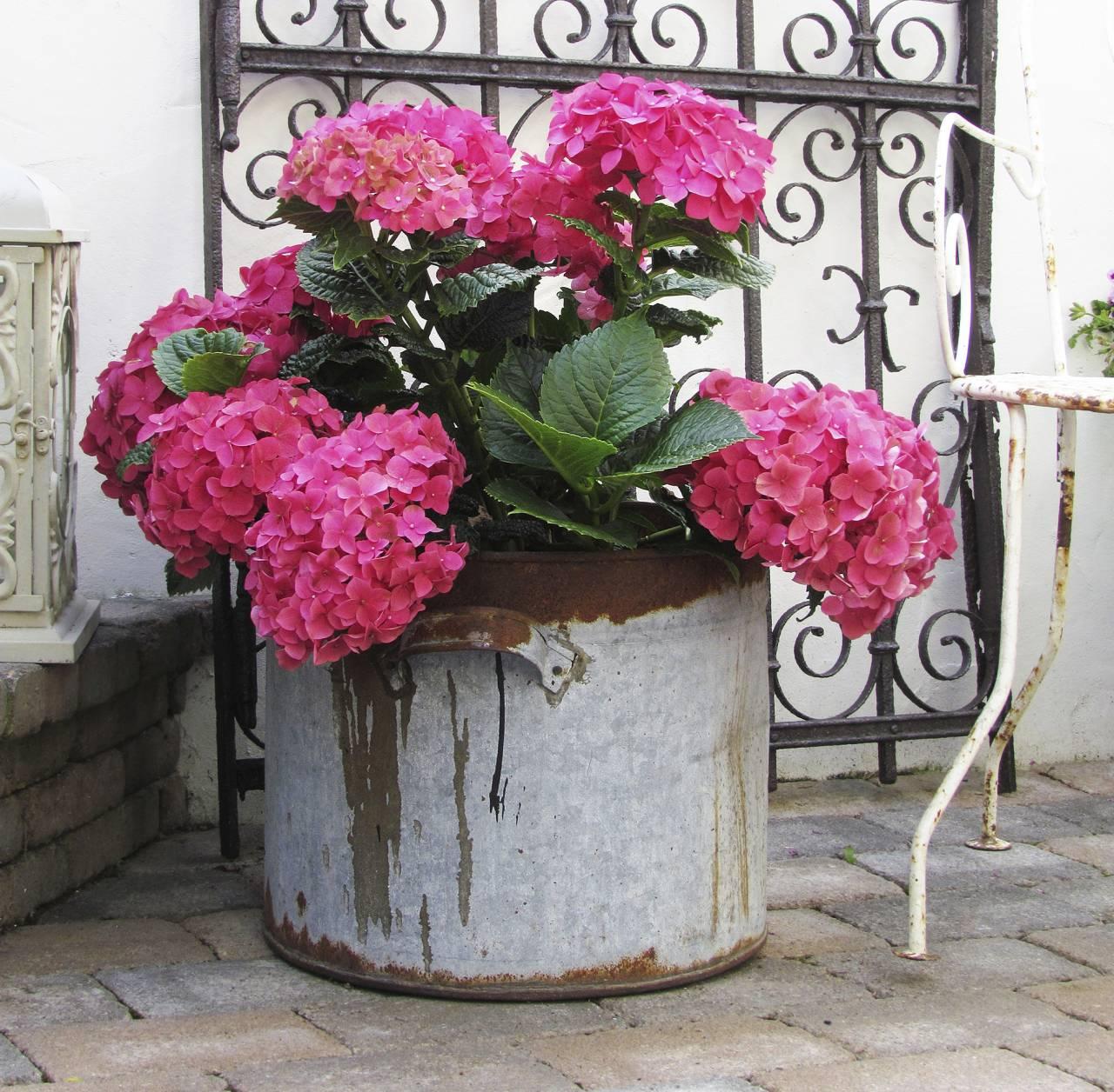 Rosa hortensia i utomhuskruka