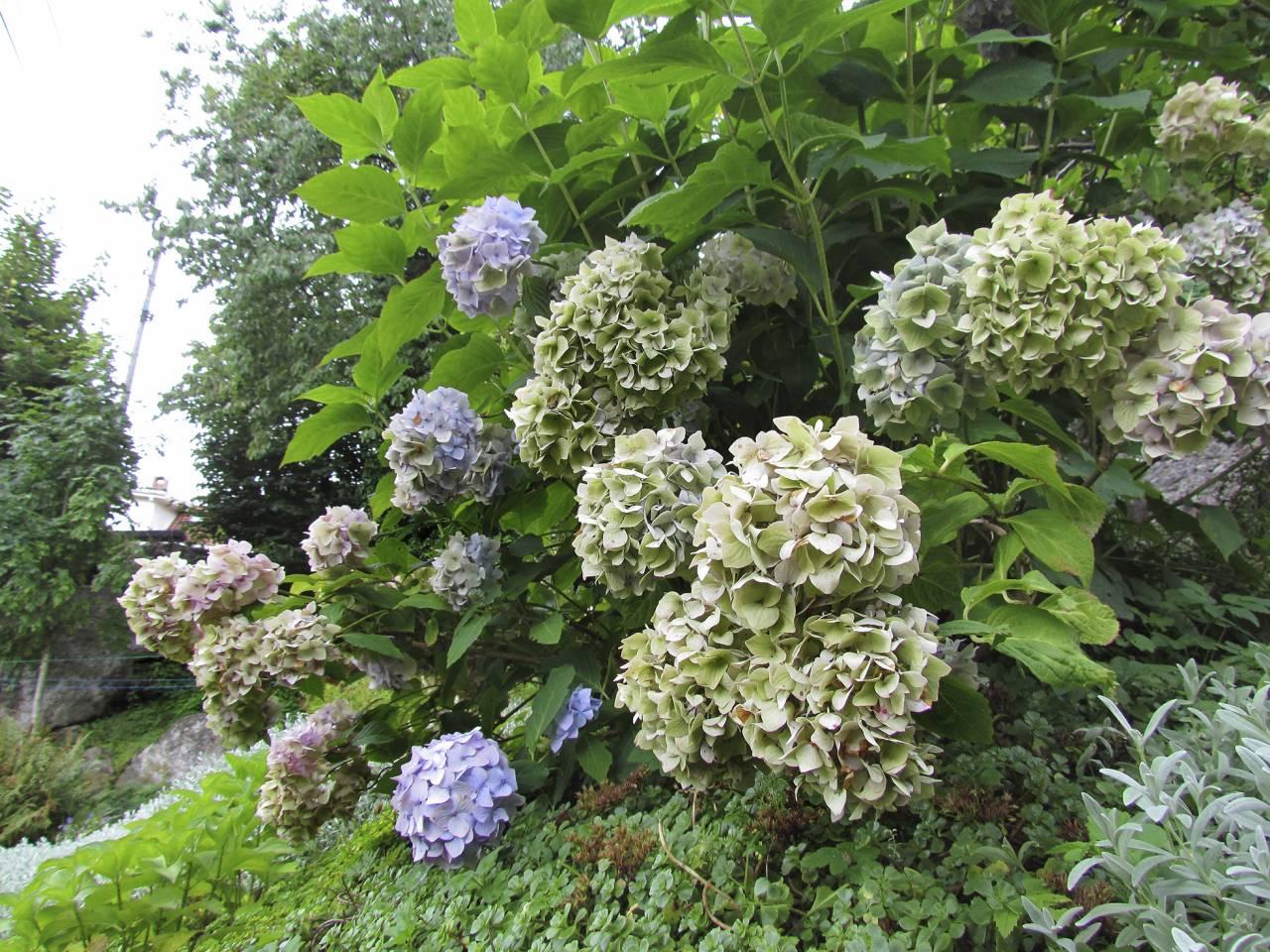 Hortensiabuske i blåa toner