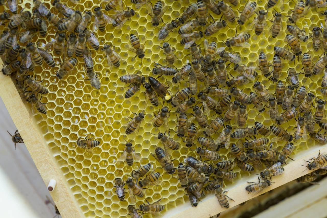 Närbild av bisamhälle i bikupa