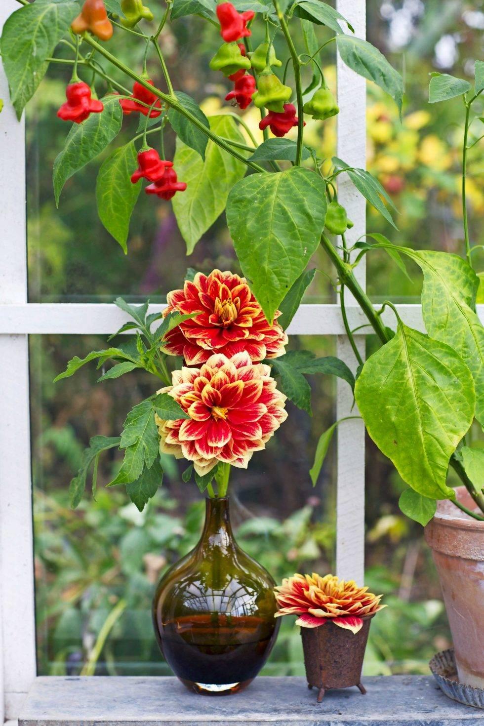 Dahlior är väldigt uttrycksfulla blommor.