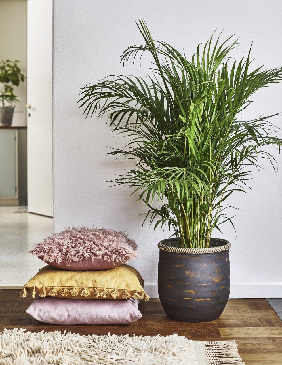 Guldpalm skapar djungelkänsla i hemmet och renar luften.