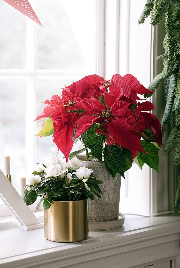 Klassisk röd julstjärna i kruka i julpyntat fönster