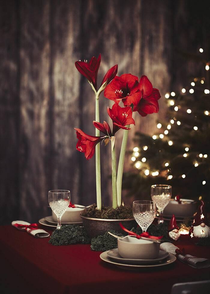 Röd amaryllis är både klassiskt och trendigt julen 2019