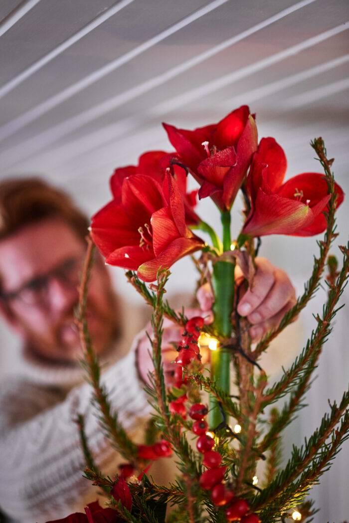 amaryllis i julgranstopp