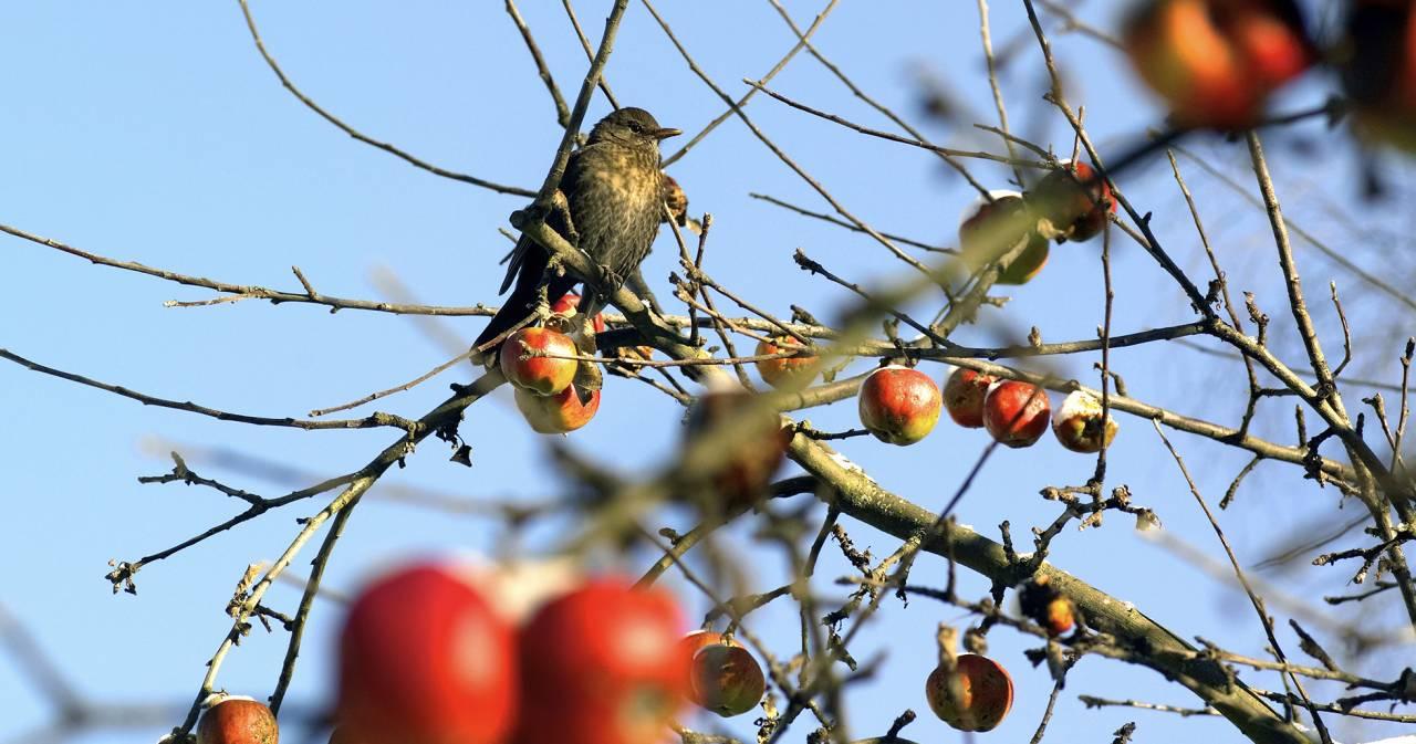 Koltrast i äppelträd