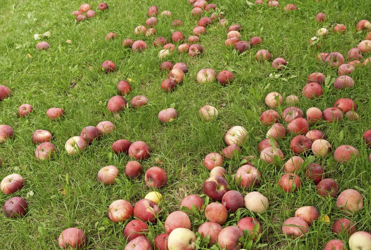 Fallfrukt på gräsmatta som görs redo inför vintern