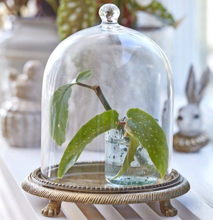 Stickling från begonia under glaskupa.