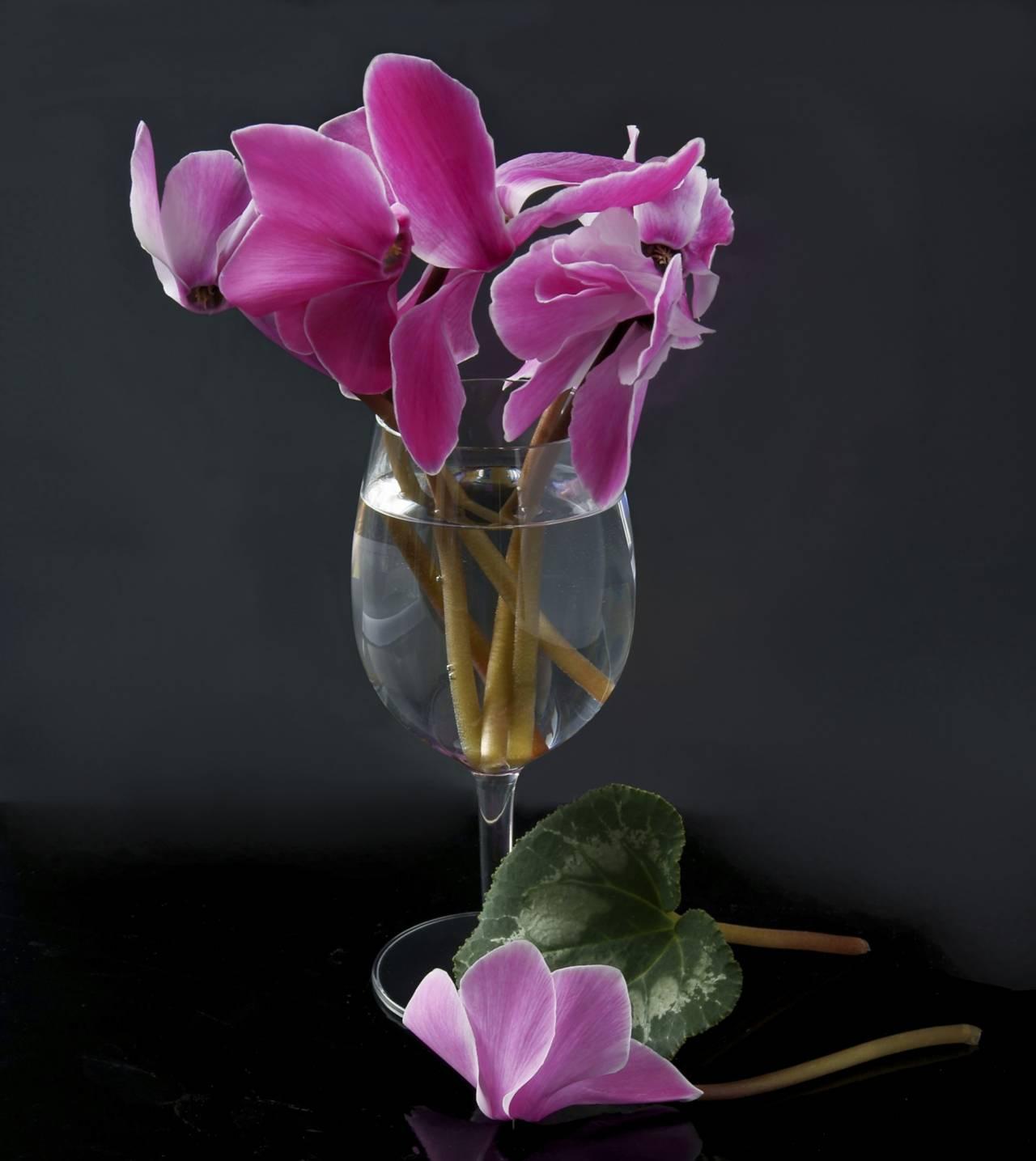 Cyklamen som snittblomma i litet glas