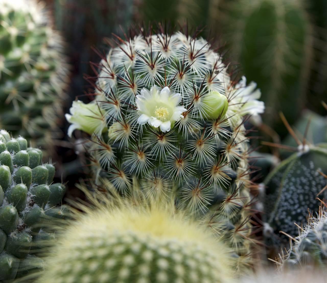 Blommande kaktus
