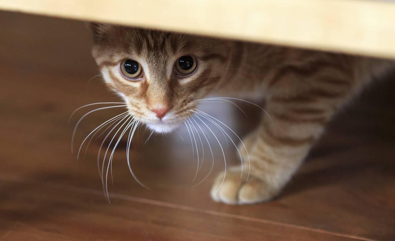 Katt med personlighetstyp Känslig