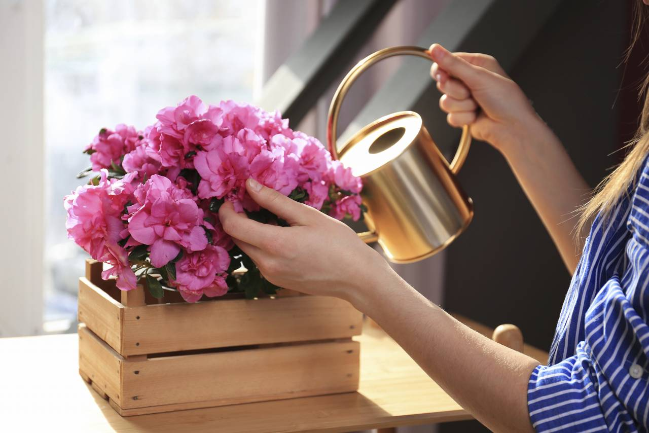 Kvinna vattnar rosa azalea