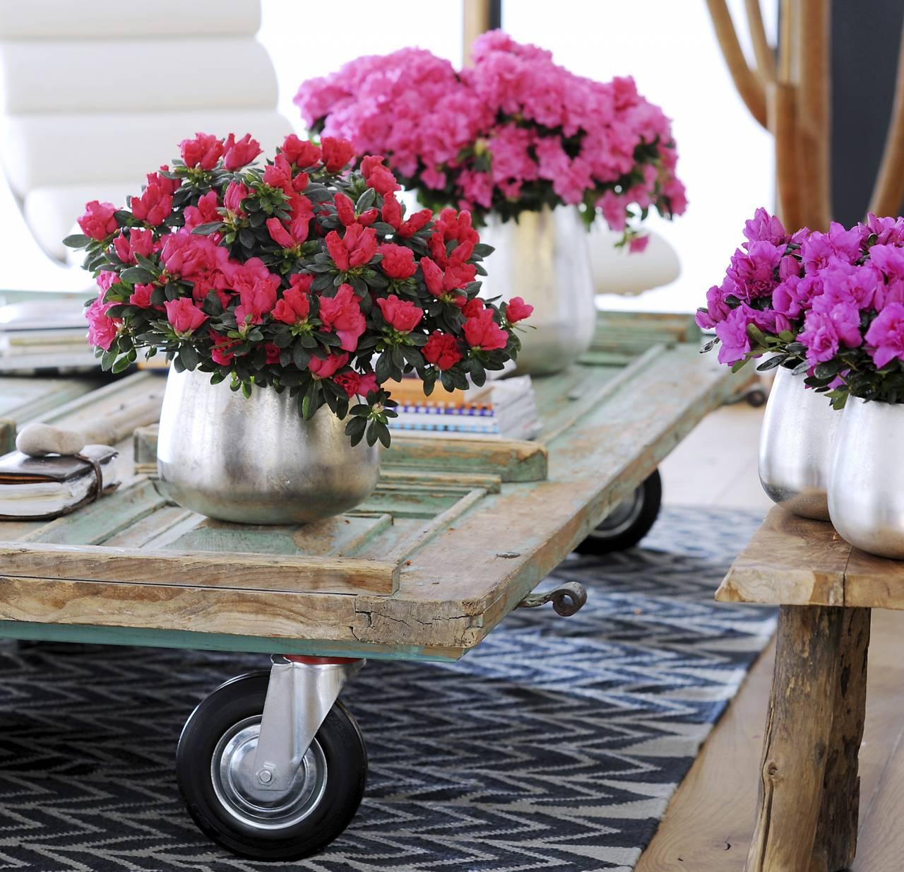 Azaleor i olika färger på bord