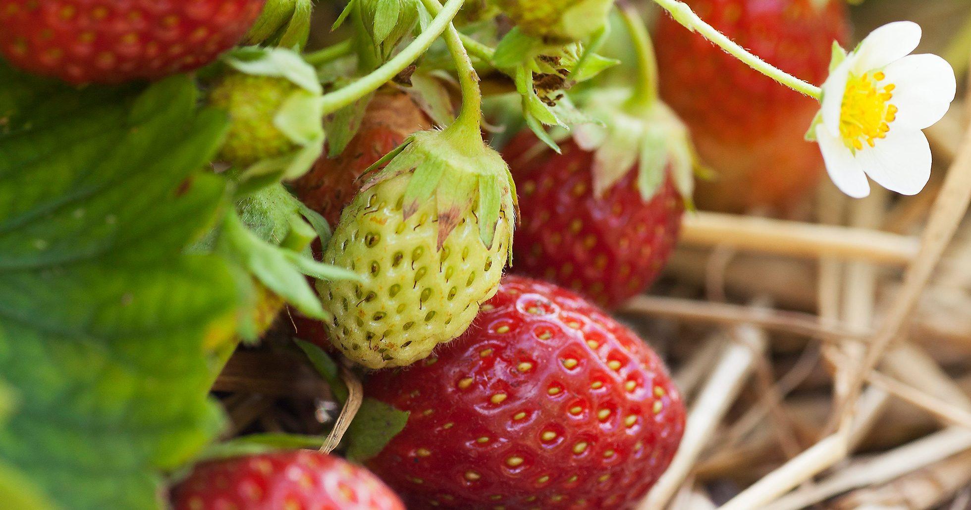Jordgubbar på en jordgubbsplanta