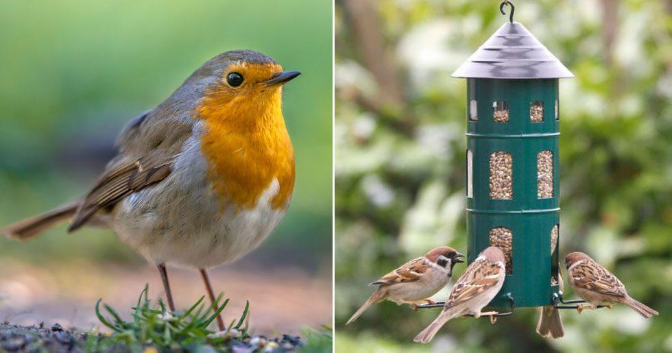 Småfåglarna behöver matas även under sommaren. De lägger mycket energi på att byta ut sin fjäderskrud – och behöver all näring de kan få.