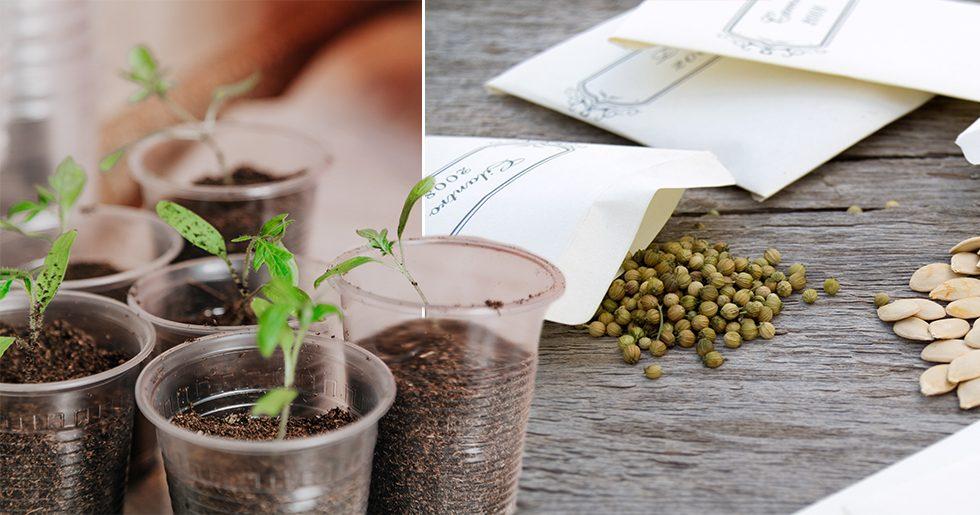 Samla dina fröer i ett frökuvert.