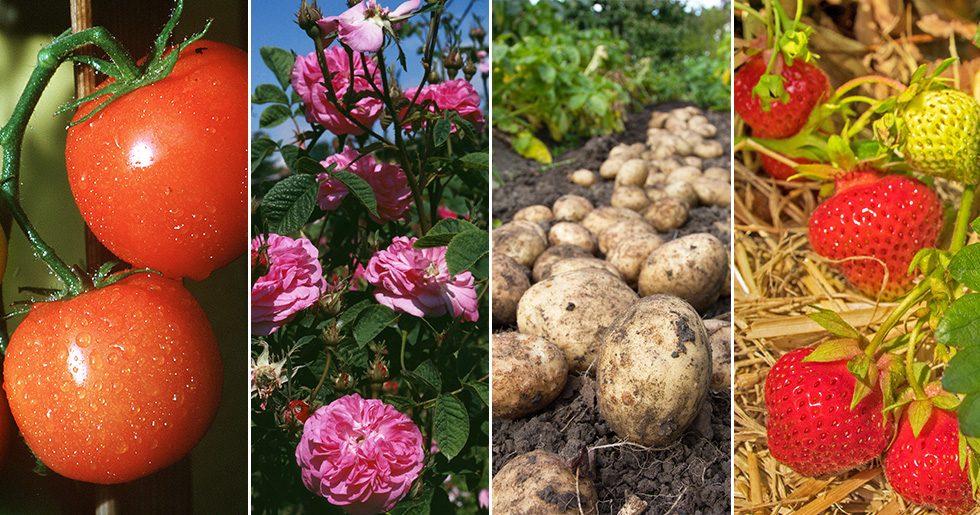 Tomat, rosor, potatis, jordgubbar – vad ska de samplanteras med?