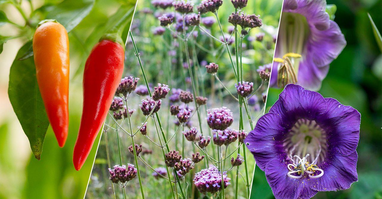 Vintersådd inför sommaren: så fröer i januari, februari och mars