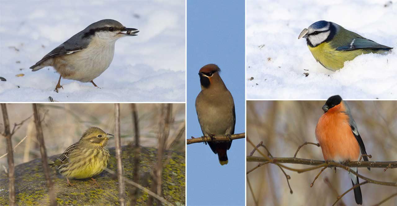 Guide: Lär dig känna igen vinterns småfåglar