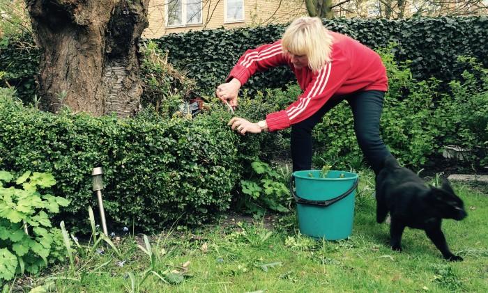 plantera om buxbom
