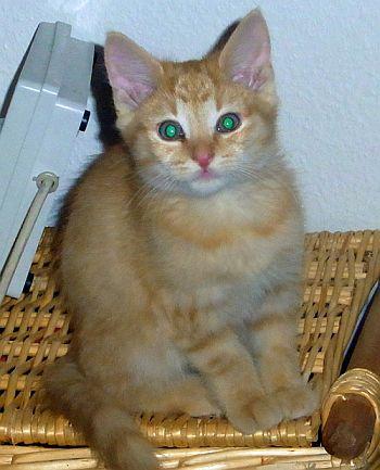 Röd söt kattunge