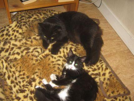 Två katter myser tillsammans